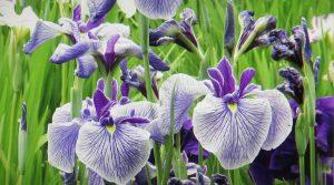 lirios-violetas